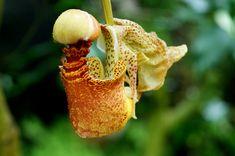Coryanthes macrantha