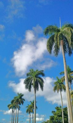 There is something majestic about royal #palms