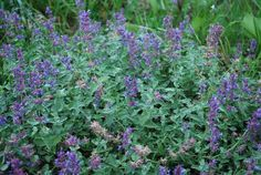 catmint | Catmint is another good plant for attracting beneficial insects. A ...