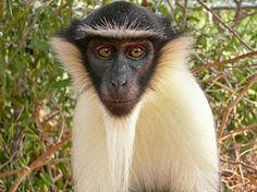 """""""O GRITO DO BICHO"""": Mais da metade dos primatas do mundo está sob risc..."""