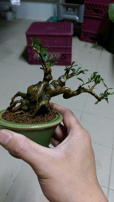 詹舜羽 Mini Bonsai, Plants, Plant, Planets