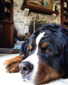 My bernese mountain dog keeping a sharp eye on the backyard