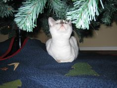 StormHaven lilac point Baylor under the Christmas tree.