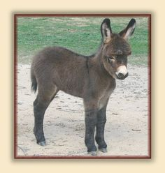 Miniature Donkey For Sale: Jennets