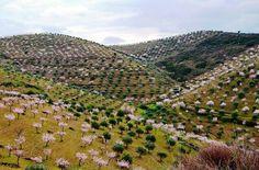 Douro, Património da Humanidade. Amendoeiras em flor Castelo Melhor, Foz Côa  Foto: Maria Flor