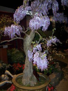 Chinese wisteria trained into bonsai... amazing!  Love wisteria, would love to find a bonsai wisteria.
