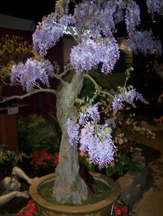 Chinese wisteria trained into bonsai.