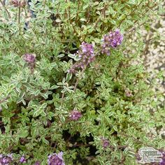 Thyme - Thymus vulgaris Silver Posie This is a charming, easy-to-grow, ornamental thyme which has fabulous, silver-margined, aromatic grey-green leaves and produces beautiful, pinky-purple flowers from May to June. Perfect for growing alongside a path or edging a border, it makes a lovely ground cover specimen and looks excellent in the rock garden. It's also a very useful variety for the kitchen and attracts wildlife such as bees and butterflies to the garden.