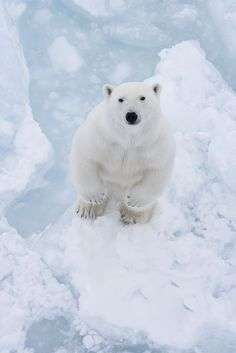 """Polar Bear """"How did you get up there?"""""""