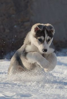 """Husky: """"This is where I was born to be!"""" (From Lynn: A Superb Shot ~ Kudos to The Photographer!)"""
