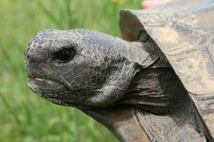 Gopher tortoises relocated to Nokuse Plantation.  http://www.waltonoutdoors.com/relocated-gopher-tortoises-arrive-at-nokuse-plantation-in-freeport/