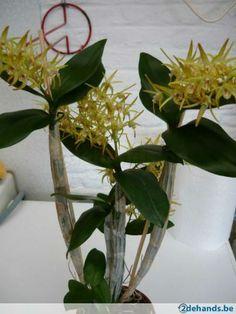 dendrobium-orchidee-geurend
