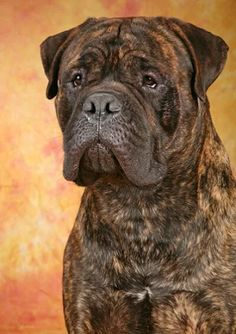 Discover The Good-Natured Mastiff Dogs Temperament Giant Dog Breeds, Giant Dogs, Big Dogs, I Love Dogs, Dogs And Puppies, Doggies, Chien Cane Corso, Cane Corso Dog, Bull Mastiff Puppies