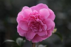 Buy camellia Camellia × williamsii 'Debbie': Delivery by Crocus.co.uk - this can go on a north facing wall!!