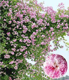 Die Ramblerrose Paul's Himalayan Musk Rambler gehört zur neuen Generation an Kletterrosen! Dieser in England bereits weit verbreiteten Schlingrosen-Art können Sie beim Wachsen regelrecht zuschauen & Sie werden sich wundern, wie schnell Ramblerrose Zäune, Pergolen und selbst Bäume bis in eine Höhe von 10 Metern erobert! Die fantastische, stark duftende Blüte beginnt in Rosa und verwandelt sich dann in ein Rosé-weiß. Mehrtriebige, starke 1A-Qualität.