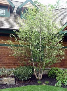 Heritage Clump Birch Tree | multi stem tree that will grow to 35 ft a great corner or privacy tree ...