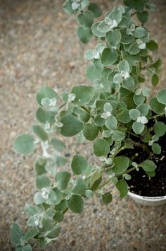 10 Colorful & Low Maintenance Window Box Plants White Licorice for the front of the box