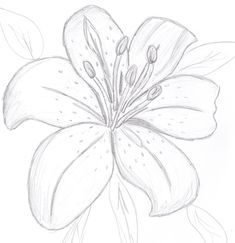 Flower Drawing Colourless Tiger Lily by on DeviantArt - Flower Sketch Pencil, Flower Sketches, Flower Drawings, Drawing Flowers, How To Draw Flowers, Pencil Art Drawings, Easy Drawings, Drawing Sketches, Lilies Drawing