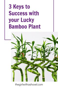 Keep your lucky bamboo alive! Don't do THESE things, or else your plant will slowly suffer... instead follow THESE plant tips to watch it grow healthy and green for years to come! Bamboo Plant Care, Lucky Bamboo Plants, House Plants Decor, Plant Decor, All About Plants, Apartment Plants, Best Indoor Plants, Bedroom Plants, Low Lights