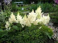 ASTILBE                                                               Description: The genus includes over 30 species, distributed in ...
