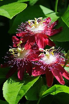 PlantoftheWeek – Passiflora 'Lady Margaret'- Gazebo Garden has a wonderful Passion Flower hybrid named 'Lady Margaret' prized for its raspberry petals. Passion Flowers are native to EU, Asia, AU, NZ, So. & No. America. The tropical forms are valued for their edible fruit which are used in many treats. Our native P. incarnata is a prized as nectar source for butterflies, bees & hummingbirds. Because of the exotic floral anatomy, many legends exist for the anatomy being compared to the…