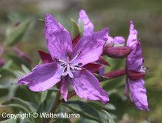 River Beauty (Chamerion latifolium) flowers