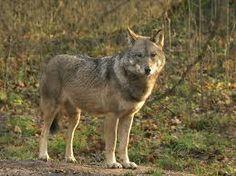 wilde dieren in europa - Google zoeken