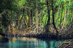 The mangrove trees shown above are located in the Los Haitises National Park in the Dominican Republic, not far from where Claire landed after her escape from the Porpoise.