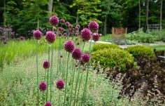These alliums are ta