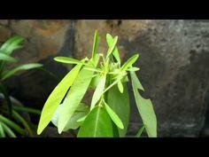 La plante qui danse...un nouveau produit 2014 chez www.radisetcapucine.com