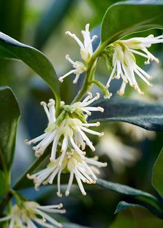 Christmas box (Sarcococca confusa). Grace Lowrie, author of Kindred Hearts http://www.amazon.co.uk/dp/B00SMRLCA0