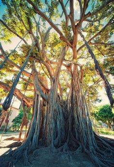 Largest fig tree in Europe - has nothing on the Aussie ones. I love these trees... Great light!