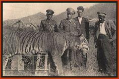 ببر ایرانی / Caspian Tiger / Panthera tigris virgata