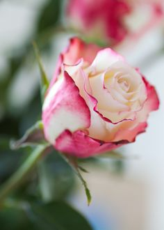 Flower of Love rose Beautiful Flower Quotes, Beautiful Roses, All Flowers, Pretty Flowers, Hearts And Roses, Coming Up Roses, Love Rose, Rose Buds, Pink Roses
