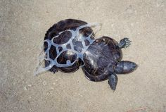 Turtle Cut Free From 6-Pack Rings Is Unstoppable 20 Years Later
