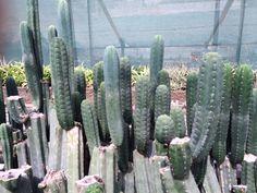 Trichocereus pachanoi / peruvianus Bulk 1000 Seeds - http://trichocereus.net/product/trichocereus-pachanoi-peruvianus-bulk-1000-seeds - #Bulk, #BuySeeds, #Peru, #Samen, #SamenKaufen, #Seeds, #Trichocereus, #TrichocereusPachanoi, #TrichocereusPeruvianus