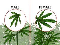 Image titled Identify Female and Male Marijuana Plants Step 7