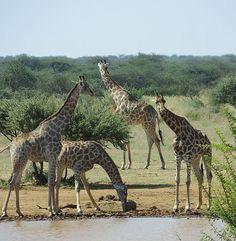 Die Tierwelt rund um das Wasserloch vom Erindi Private Game Reserve, Teil eins. Unsere fantastische Namibia-Reise, noch immer zweite Etappe
