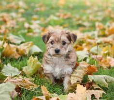 Morkie Puppies, Lancaster Puppies, Animals Dog, Little Dogs, Mans Best Friend, Puppy Love, Pets, Search, Sweet