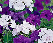 How to Plant Perennials