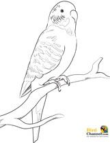Click to see printable version of Budgerigar Parrot coloring page