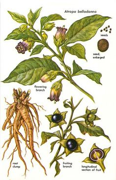 "Atropa belladonna (Deadly Nightshade) is one of the most notorious of witch plants. Many scholars believe that the witches' ""trips"" to the Sabbat were often brought about through ingestion of this and similar drugs... ~ Barbara Walker"