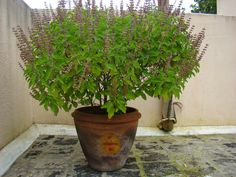 Tulsi or Tulasi (Ocimum tenuiflorum) or Holy basil is a sacred plant in Hindu belief. Hindus regard it as an earthly manifestation of the goddess Tulsi, a consort of the god Vishnu. The offering of its leaves is mandatory in ritualistic worship of Vishnu and his forms like Krishna and Vithoba. Many Hindus have tulsi plants growing in front of or near their home, often in special pots or special small masonry structures. Traditionally, Tulsi is planted in the center of the central courtyard…