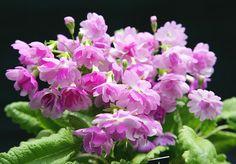 Komachi flor