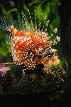 230\365. Lionfish | Flickr – Compartilhamento de fotos!