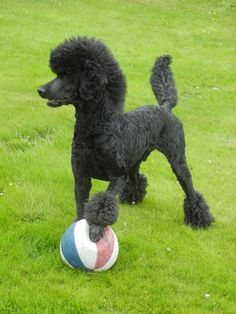 Pudel / Poodle Kuro from Sweden wow Poodle Grooming, Dog Grooming, Black Standard Poodle, Standard Poodles, Poodle Haircut, Poodle Hairstyles, Rottweiler, Dog Dye, Animals And Pets