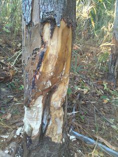 Beavers destroying landowners trees