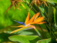 Strelitzia Reginae : Bird of Paradise Plant Tropical Garden, Tropical Plants, Outdoor Flowering Plants, Strelitzia Plant, Birds Of Paradise Flower, Plant Health, Organic Living, Types Of Soil, Raised Garden Beds