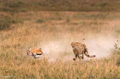 A mother Cheetah chases the Thomson's gazelle through the Serengeti in Tanzania. Both animals are, in a sense, running for their lives. The Cheetah and cubs who haven't eaten in days and the Gazelle who might become their meal. Photograph by Roie Galitz National Geographic Travel, Serengeti National Park, Arusha, Cheetahs, Animal Photography, Photography Awards, Wild Photography, Wildlife Photography, Photo Contest