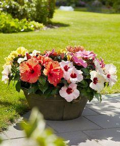 7 sfaturi ca să-ți înflorească orice trandafir chinezesc, cunoscut ca și trandafir japonez   Adela Pârvu - Interior design blogger Growing Hibiscus, Hibiscus Plant, Hibiscus Flowers, Full Sun Container Plants, Container Gardening, Patio Plants, Garden Plants, Flowers Direct, Gazebo